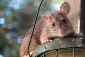Rat Control, Pest Control in Beckenham, Elmers End, Park Langley, BR3. Call Now 020 8166 9746