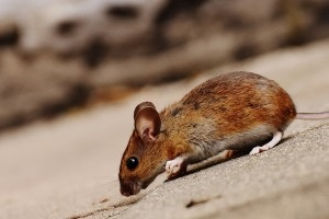 Mouse extermination, Pest Control in Beckenham, Elmers End, Park Langley, BR3. Call Now 020 8166 9746