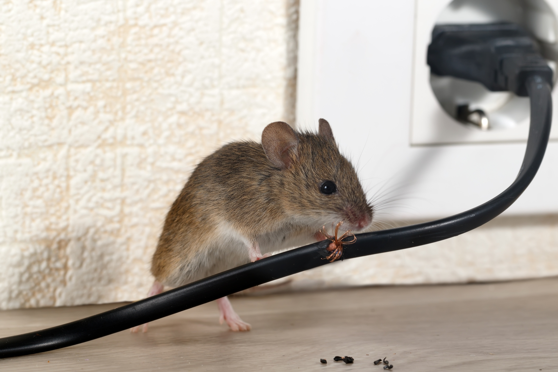 Mice Infestation, Pest Control in Beckenham, Elmers End, Park Langley, BR3. Call Now 020 8166 9746